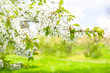 Blossoming of cherry trees. Spring flowers with sun rays