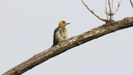 Golden cheeked Woodpecker