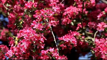 Vivid pink blossom tree flower at spring