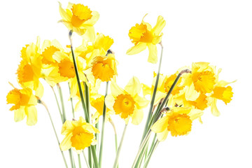 Bouquet of yellow daffodils  on white background