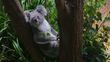 Koala sitting in a tree