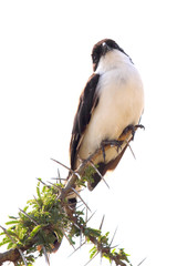 Northern white-crowned shrikes perched on a tree