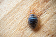 Leinwanddruck Bild - Bed bug on wood