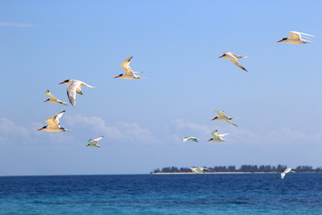 Flock of terns flying over the sea