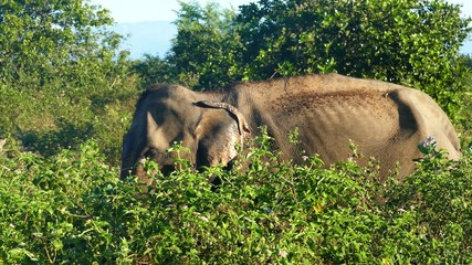 indian elephant eating grass in jungle 4k