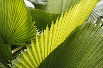 Abstract of tropical palmetto leaves in south Florida.