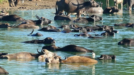 many wild buffalo bathing in the lake in Sri Lanka 4k