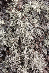 lichen on tree bark closeup
