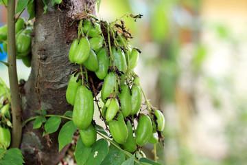 Averrhoa Bilimbi / Bilimbi / cucumber tree