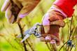 Spring pruning roses - 81598143