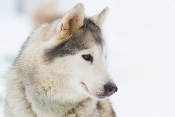 portrait Young siberian Husky on snow