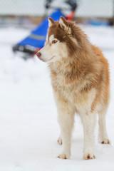 Alaskan Malamute snow