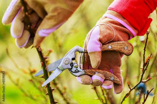 Foto op Canvas Lente Spring pruning roses