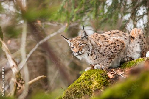 Fotobehang Lynx portrait lynx