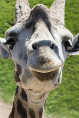 muso simpatico di giraffa