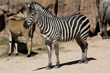 zebra che guarda