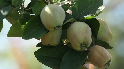 fruits Quince on a tree branch close to