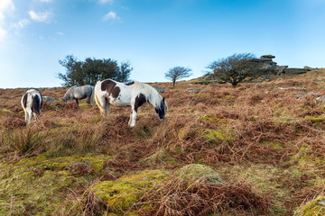 Ponies on Sharp Tor