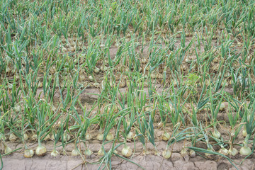 Onion plantation array