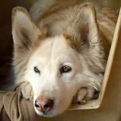 Seniorhund, qu.