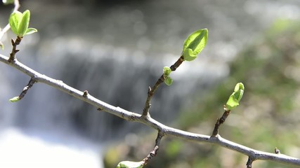branch with buds and a river at the back