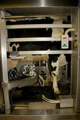 Vache laitière traite au robot