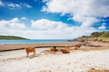 A beach populated only by cows