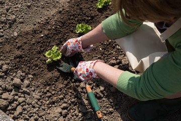 Farmer planting young seedlings of green salad