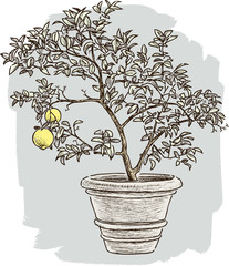 lemon tree in the flower pot