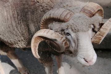 羊 巻き角 ドーセットホーン