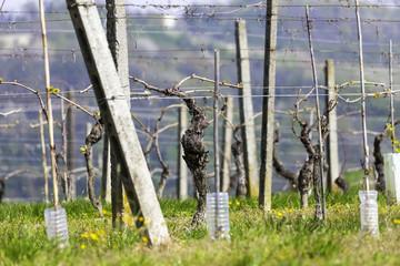 Unripe vineyard, springtime. Color image