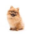 Cute pomeranian spitz - 81616170