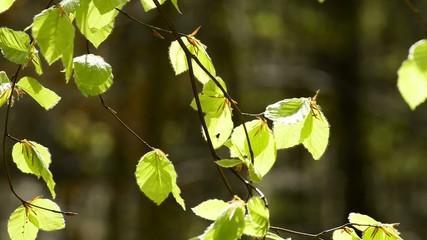 Junge,frische,grüne Blätter im Frühling