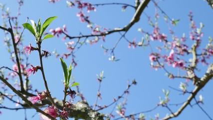 Fruit trees in bloom in spring