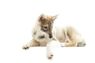 Husky on a white background