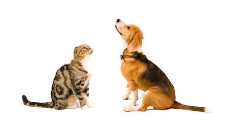 Beagle dog and cat Scottish Fold sitting together
