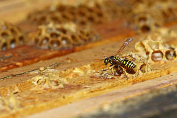 Wasp in bees' nest
