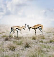 Thomson's Gazelles