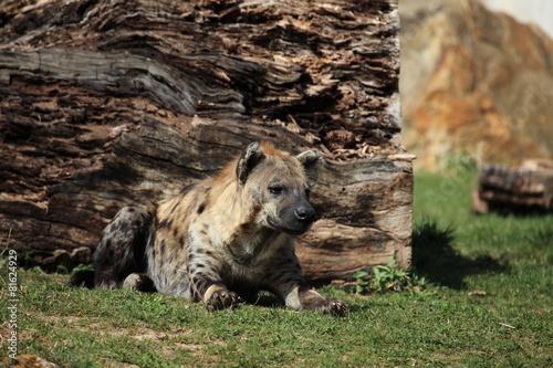 Fotobehang Hyena Tüpfelhyäne
