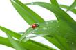 Ladybug on Leaf - 81625306