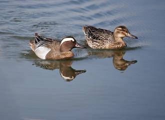 Garganey Duck (Anas querquedula) Male and female