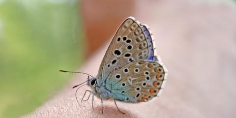 Mini papillon
