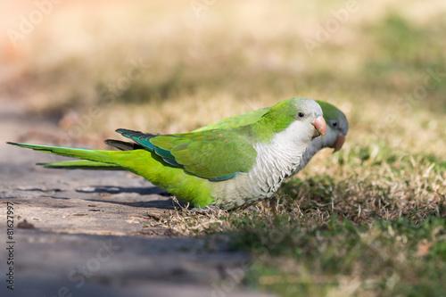 Foto op Canvas Papegaai Monk Parakeet (Myiopsitta monachus)