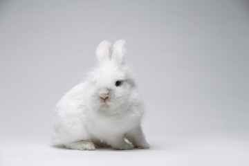 Video of white rabbit on blue screen