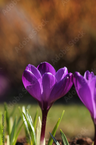 Papiers peints Crocus Crocus flower in garden spring feeling