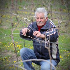 Agriculture, pruning in vineyard, senior man work, real people