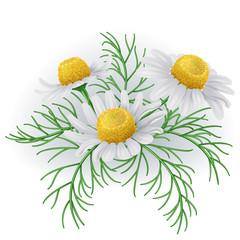 Wild chamomile flowers.