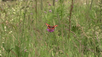 Small Tortoiseshell butterfly sit on pink flower in meadow