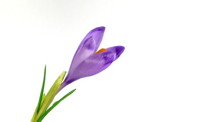 Timelapse blooming crocus on yellow background.