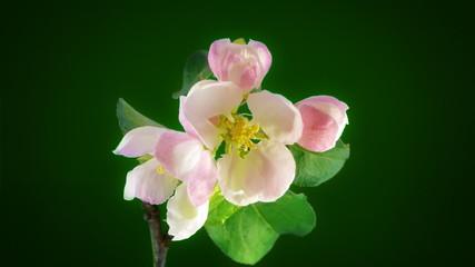 Timelapse apple flowers on green background. FullHD 1080p.